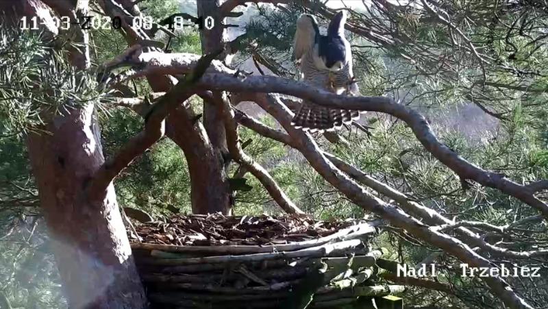 Webcam Trzebiez. Male Forest (7X -2013) & Female Gaja (9 BO - 2011) Screenshot_20200311_085242
