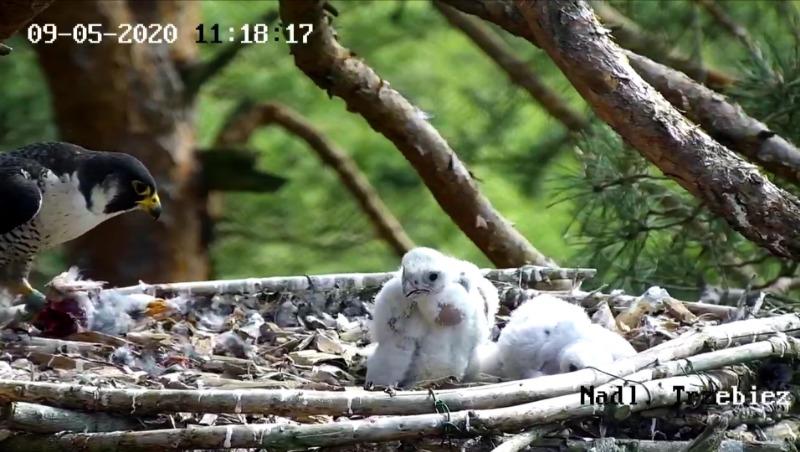 Webcam Trzebiez. Male Forest (7X -2013) & Female Gaja (9 BO - 2011) - Pagina 2 Screenshot_20200509_115021