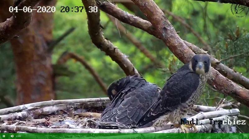 Webcam Trzebiez. Male Forest (7X -2013) & Female Gaja (9 BO - 2011) - Pagina 2 Dnia2020-06-0420-38-04-175trz2037