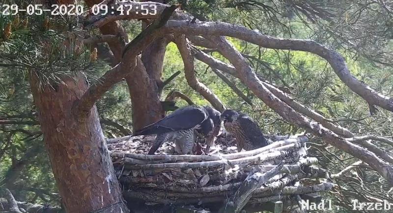 Webcam Trzebiez. Male Forest (7X -2013) & Female Gaja (9 BO - 2011) - Pagina 2 1_2020-05-29-5