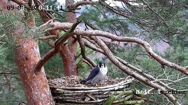 Webcam Trzebiez. Male Forest (7X -2013) & Female Gaja (9 BO - 2011) Snapshot1_2020-03-09-7