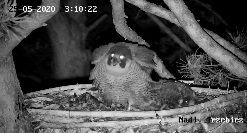 Webcam Trzebiez. Male Forest (7X -2013) & Female Gaja (9 BO - 2011) - Pagina 2 IMG_20200525_232432