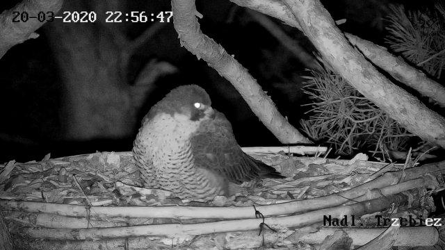 Webcam Trzebiez. Male Forest (7X -2013) & Female Gaja (9 BO - 2011) Przechwytywaniewtrybiepenoekranowym20.03.2020225726