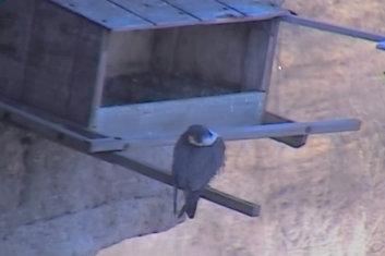 Great Spirit Bluff Falcons,Travis & Michell. Minnesota 2014 Przechwytywaniewtrybiepenoekranowym2014-04-05215533