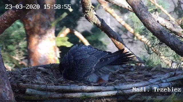 Webcam Trzebiez. Male Forest (7X -2013) & Female Gaja (9 BO - 2011) Przechwytywaniewtrybiepenoekranowym23.03.2020161302