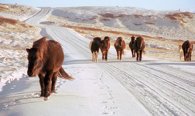 Konji vrani.. - Page 2 Horses_Iceland_2