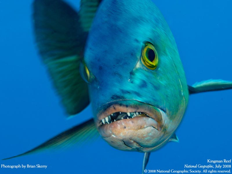 Antes de meter las manos en las fauces de un pez dentado para liberar señuelo...  Red-snapper-reef-fish-w-teeth