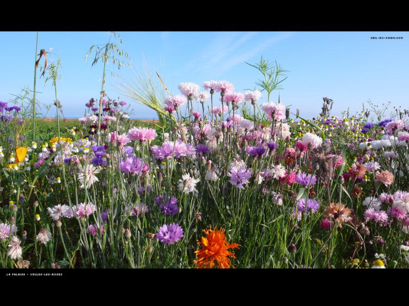 Aujourd'hui nous sommes le 17 juillet 2012  Fleurdeteoeilduchien_2