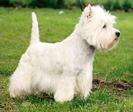 West Highland White Terrier West_highland_white_terrier