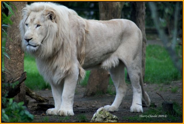 Vox Populi - Page 22 Lion-blanc-1743685609-1670048