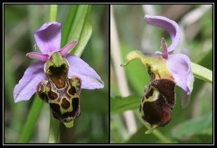 Ophrys apifera X fuciflora (X albertiana) Oapixfuci