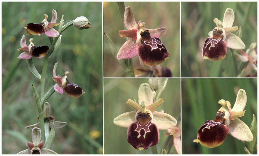 Ophrys aranifera X fuciflora (X obscura) Op_aranifXfuci1