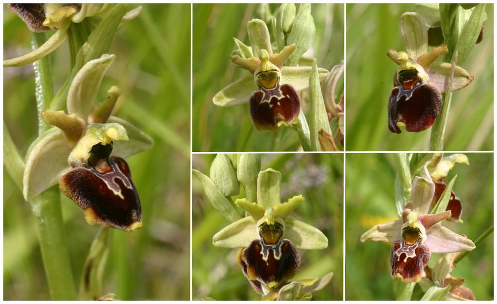 Ophrys aranifera X fuciflora (X obscura) Op_aranifXfuci2