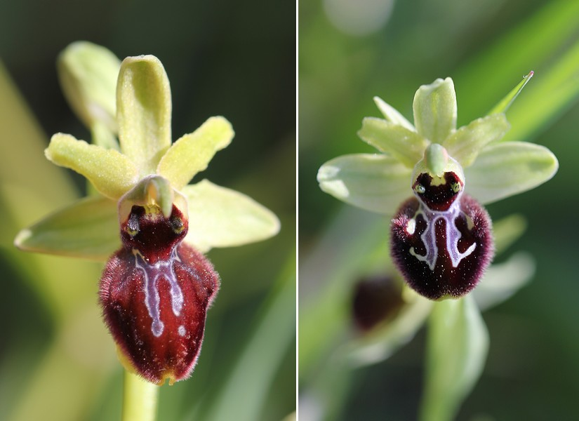 Ophrys incubacea X splendida Op_incubaceaXsplendida2013