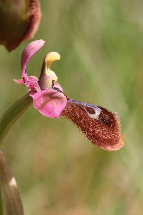 Ophrys speculum x tenthredinifera Op_passionXspeculum2