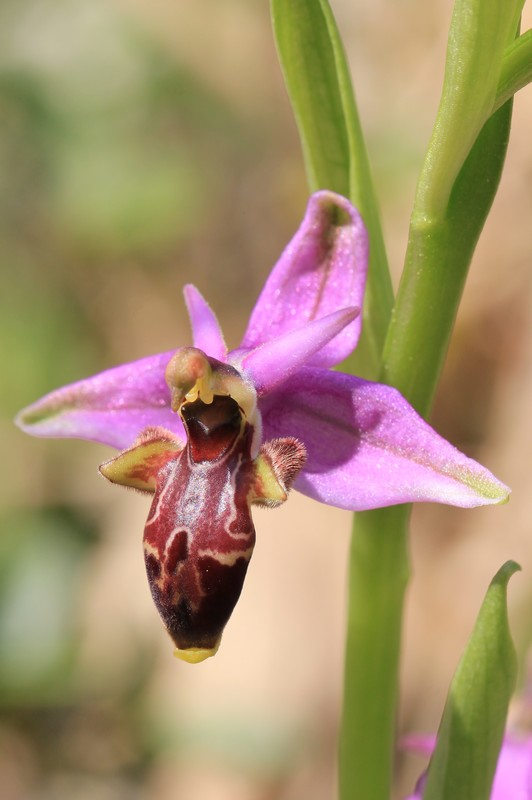 A propos d'Ophrys scolopax Op_scolopax2013
