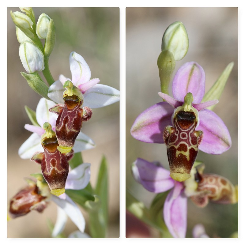 A propos d'Ophrys scolopax Op_scolopax2017