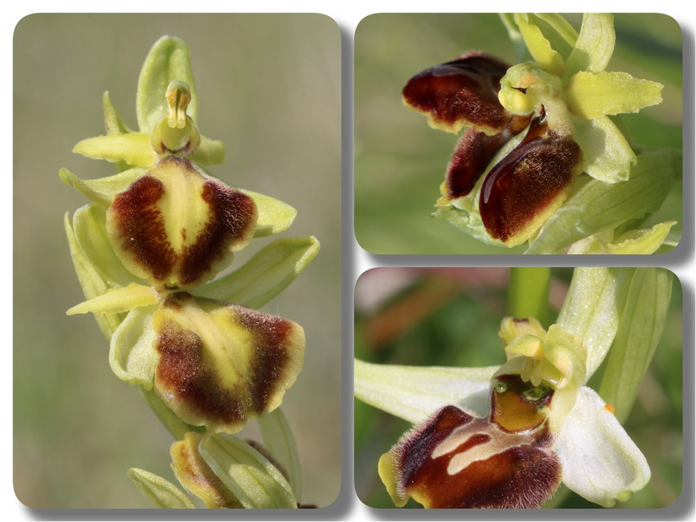 Ophrys suboccidentalis Ophrys%20StLoup%20lusus