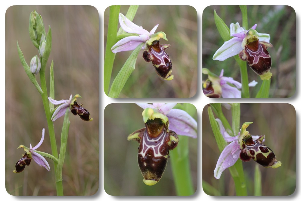 A propos d'Ophrys scolopax Ophrys%20corbariensis