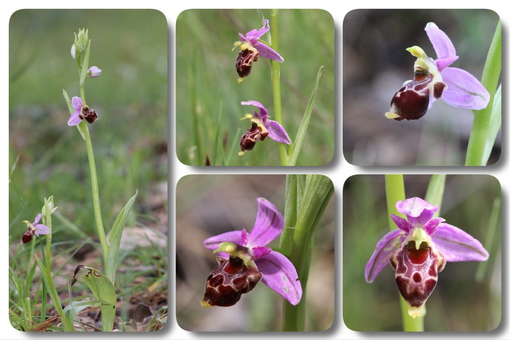 A propos d'Ophrys scolopax Ophrys%20quercophila%20locus