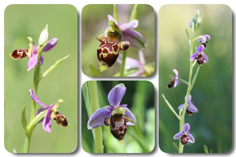 A propos d'Ophrys scolopax Ophrys%20quercophila