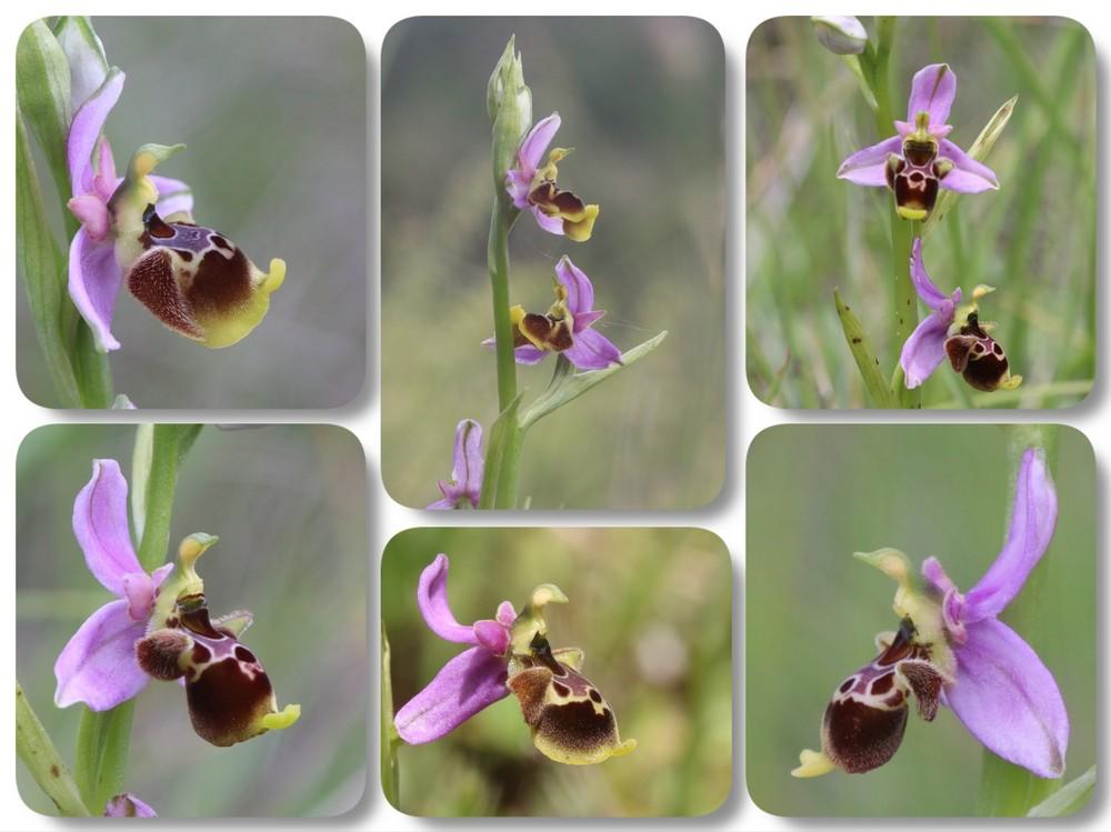 A propos d'Ophrys scolopax Ophrys%20santonica%20Var