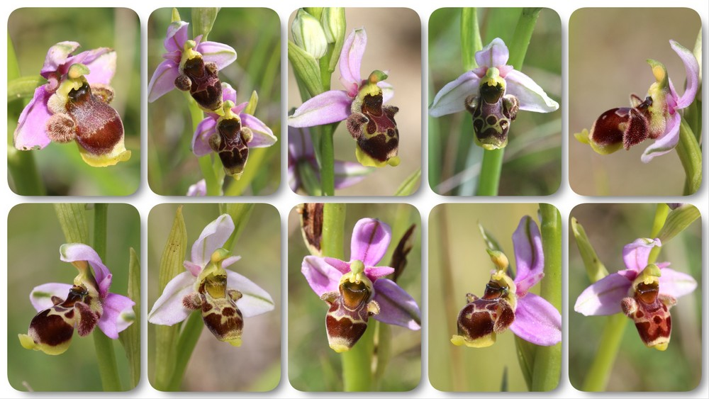 A propos d'Ophrys scolopax Ophrys%20santonica