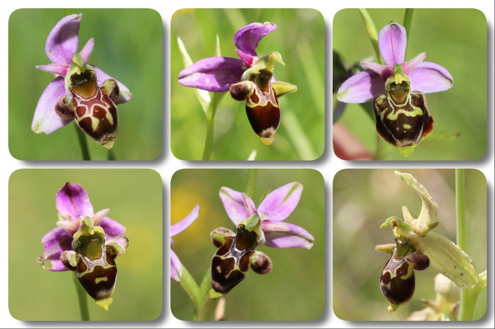 A propos d'Ophrys scolopax Ophrys%20scolopax%202019