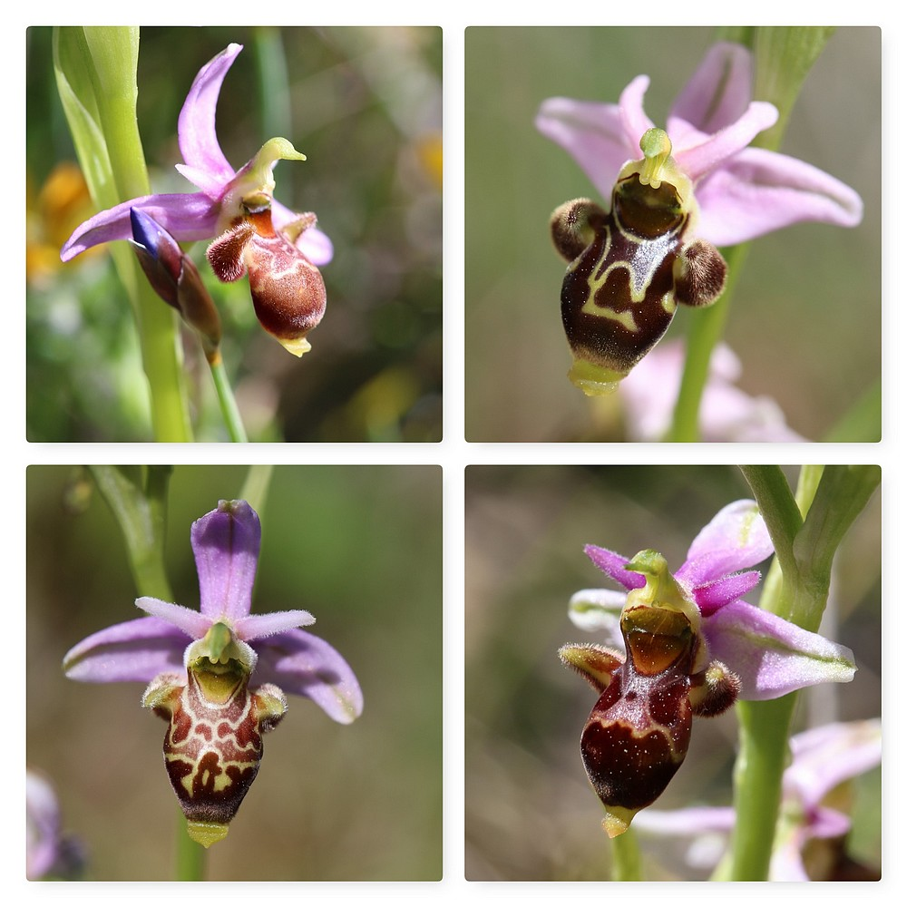 A propos d'Ophrys scolopax Ophrys%20scolopax%20couvertoirade