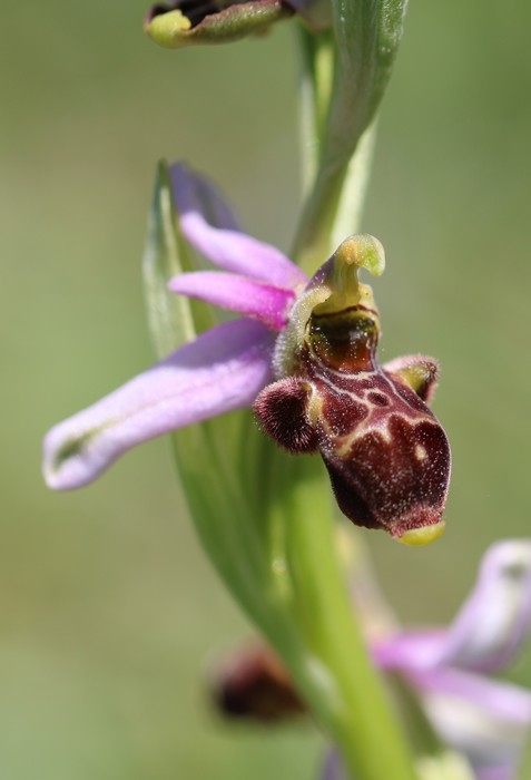 A propos d'Ophrys scolopax Ophrys%20scolopax%20la%20pezade%20(1)