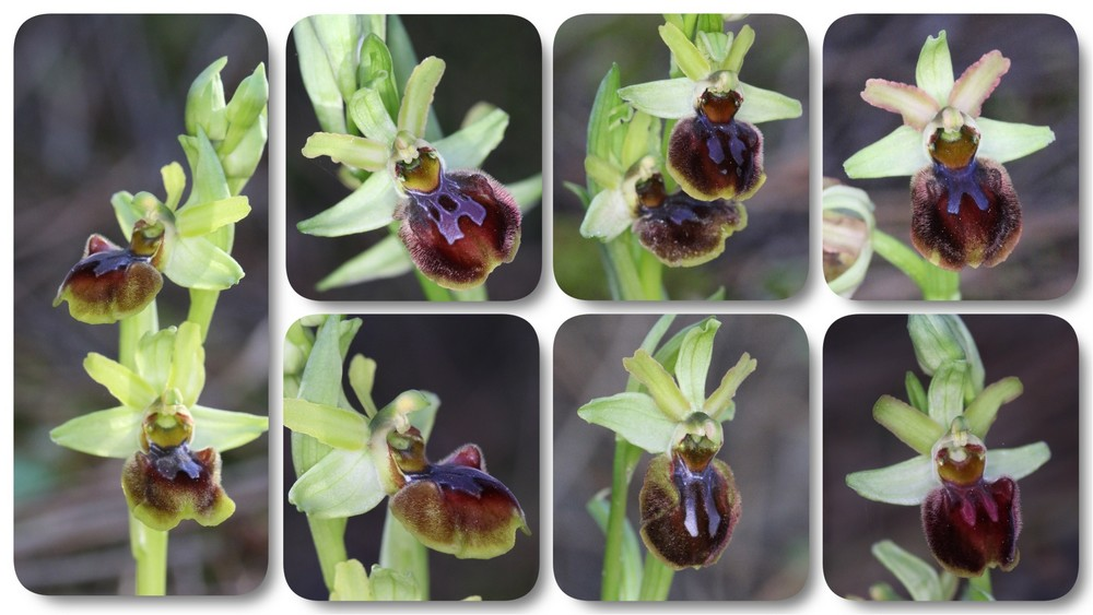 Ophrys suboccidentalis Ophrys%20stbrevin