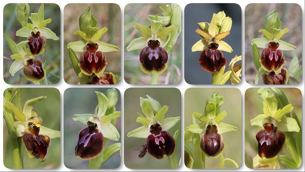 Ophrys suboccidentalis Ophrys%20stnazaire