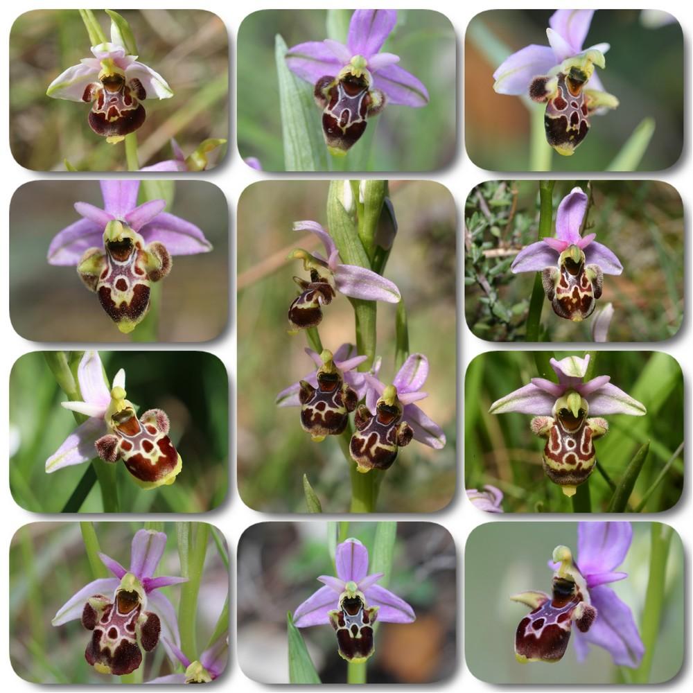 A propos d'Ophrys scolopax Ophrys%20vetula
