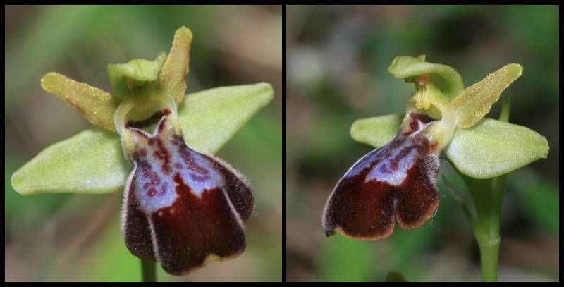 Ophrys forestieri X passionis Ophrys_lupercalishybrideX