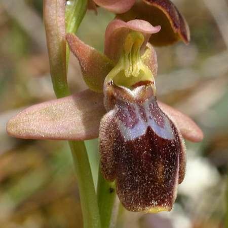 Ophrys forestieri X tenthredinifera OtenthrediniferaXlupercalis1