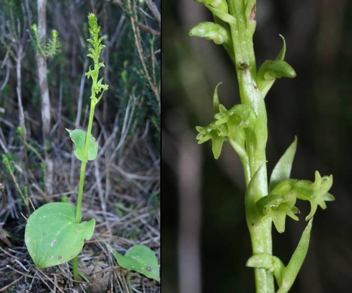 Gennaria diphylla ( Gennarie à deux feuilles ) Gennaria1