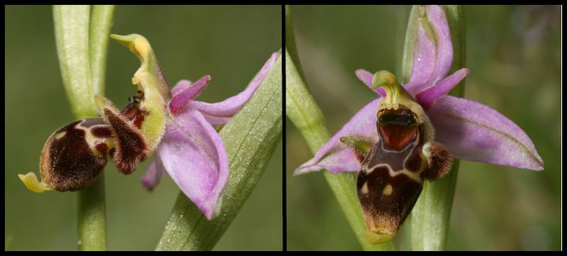 A propos d'Ophrys scolopax Picta
