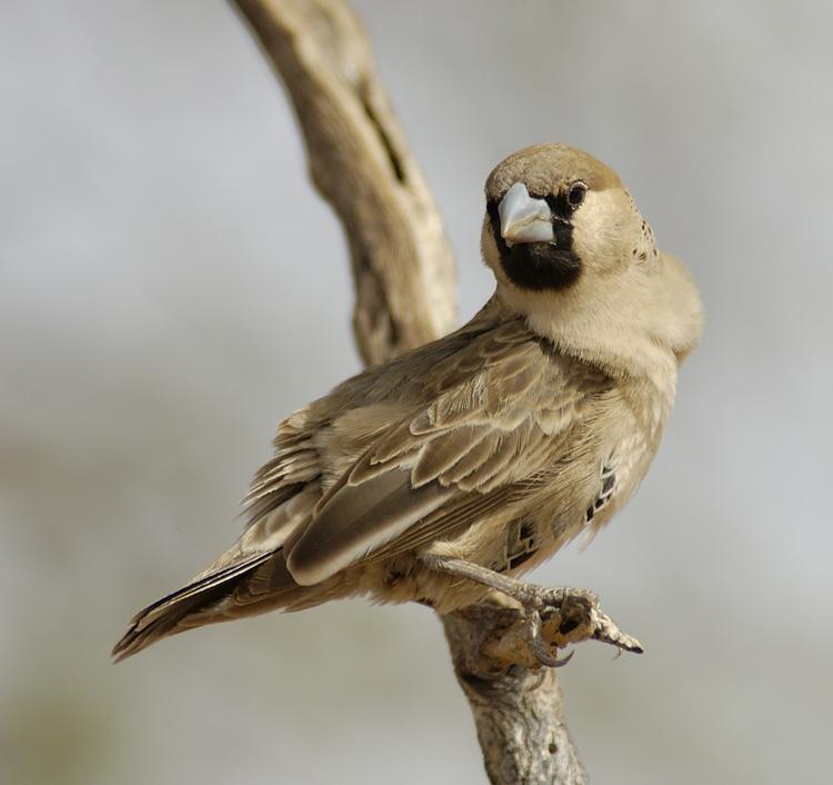 un oiseau - ajonc -le 28 juillet trouvé par Martin  0777703001175522089-8167152190