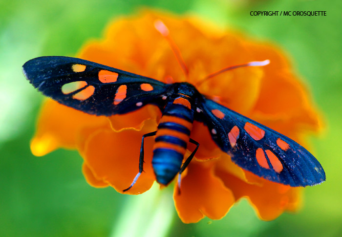 superbes papillons! - Page 2 Fc901262e1e2addc29fcdba21485