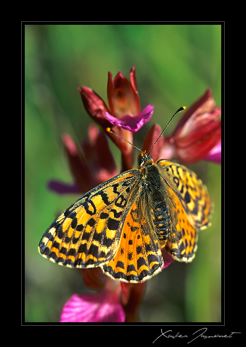 Anacamptis papilionacea (Orchis papillon ) Melitee
