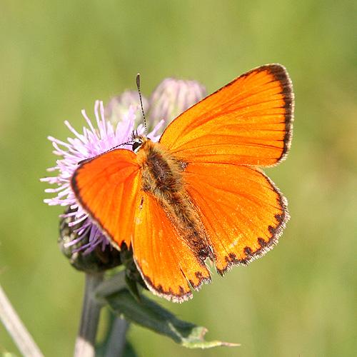 un papillon Martin le 06 Novembre trouvé par Martine Papillon1