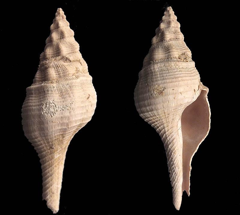 [résolu]Clavilithes (s.str.) noae (Holten, 1802) Clavilit