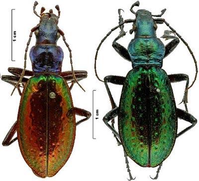 Conservation longue des coléoptères en boites de collection Oberth