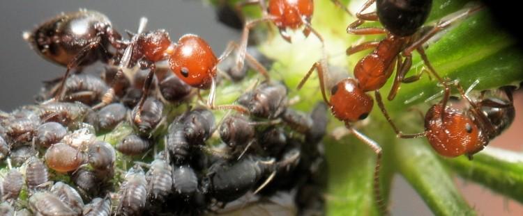 Crematogaster scutellaris - Camponotus lateralis Crematocampo