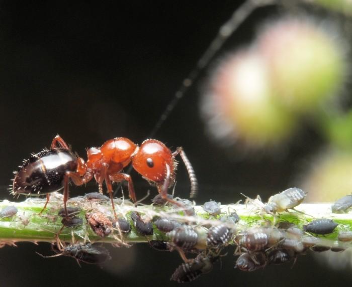 Crematogaster scutellaris - Camponotus lateralis Camponotus_lateralis