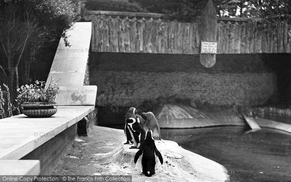 [Tutoriel] Pourriture des nageoires du Betta Splendens Wellingborough-zoo-park-the-penguins-c1950_w279021