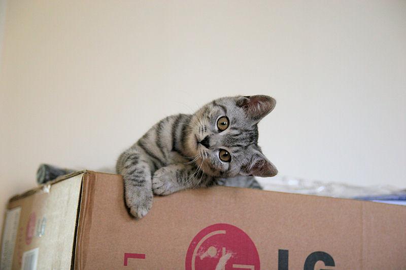 Gattilicious  =^.^= Silver_Tabby_Cat_On_Box_Cute_IMG_4445