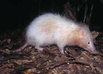Animal de ptit loulou - 7 décembre trouvé par Lolo 0328echinosorex_gymnurus