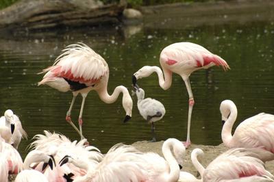 """Mengenal spesies si kaki jenjang """"Flamingo"""" 1016_chilean_flamingo_chick"""