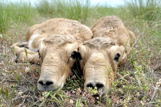 un animal par blucat (11 juillet) trouvé par ajonc Saiga-calves-copyright-Igor-Shpilenok.568